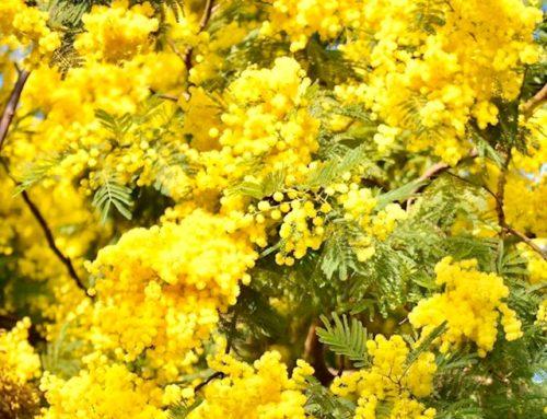 Du côté de Grasse. Fleur à parfum, le Mimosa est ensoleillé